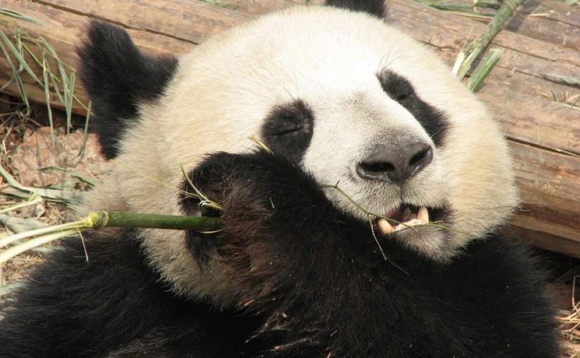 Бамбуковый ад большой панды